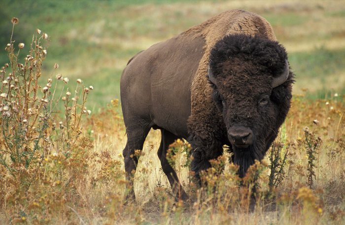 4. Yellowstone is home to the largest free-roaming herd of bison in the world.