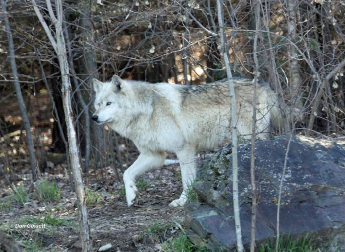 And the International Wolf Center.