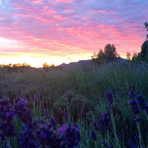 The Lavender Festival