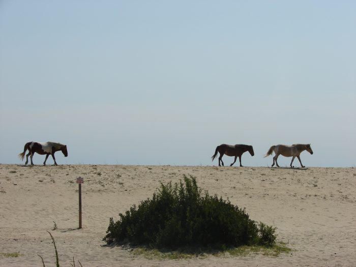 3. The pony-filled island of Assateague could be straight out of a fairy tale.