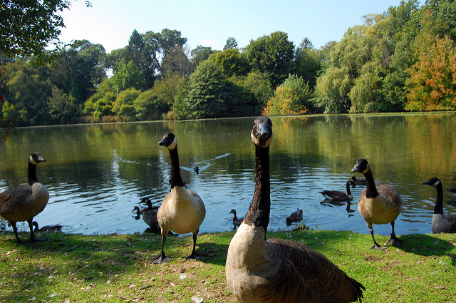 3. This picture of geese hanging around another one of Roger Williams Park's ponds, is sure to make you smile.
