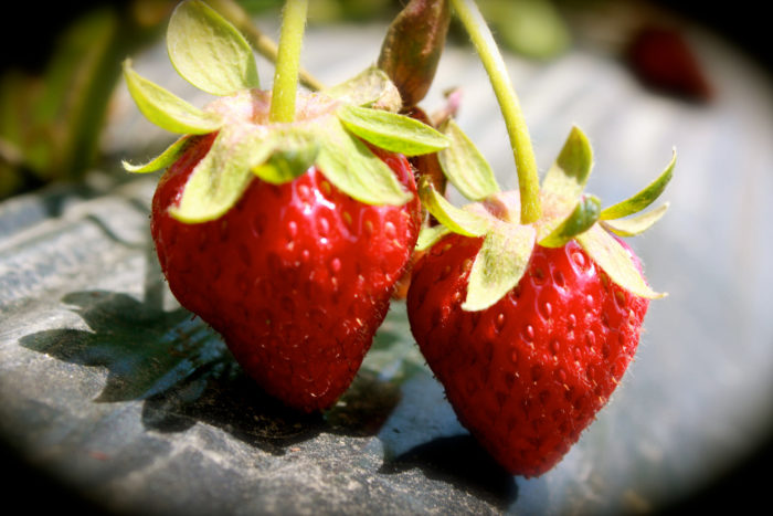 9. You or somebody you know has already made plans to go strawberry picking.