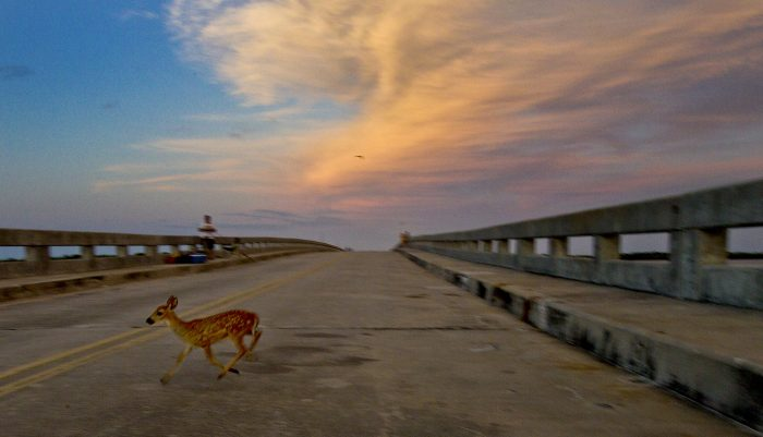 16. A baby Key Deer, an extremely rare species found only in the Florida Keys, crossing No Name Bridge on Big Pine Key.