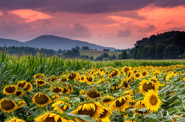 6. Sunflower Fields, Biltmore, North Carolina