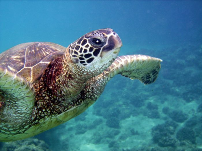 15. Learn how to snorkel, and hang out with honu.