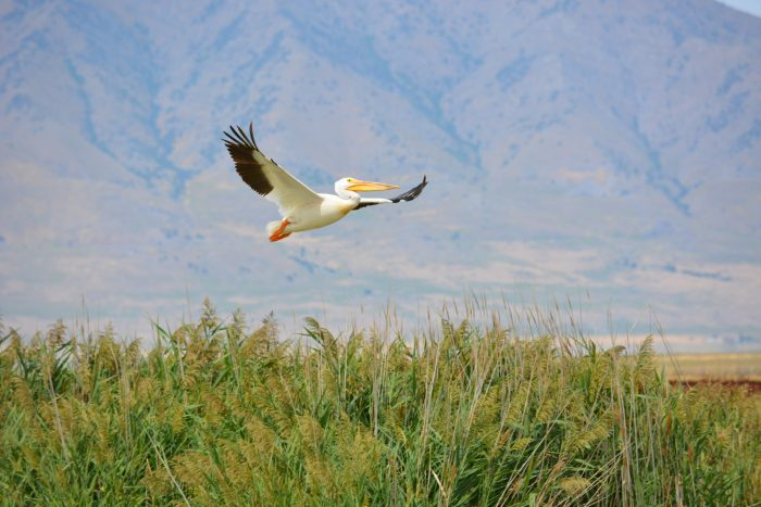 8. Birdwatch at the Bear River Migratory Bird Refuge.