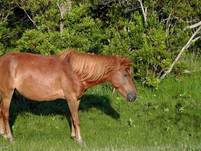 5. The short stature and seemingly bloated bellies of the horses is due to their low-nutrient diets consisting of saltmarsh grasses.