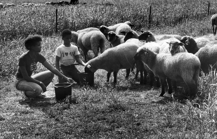 2. A 4-H Club in Beltsville tends to their sheep in 1953.