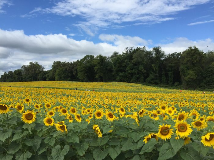1. The miles of sunflower fields scattered throughout Harford County are like a fairy tale.