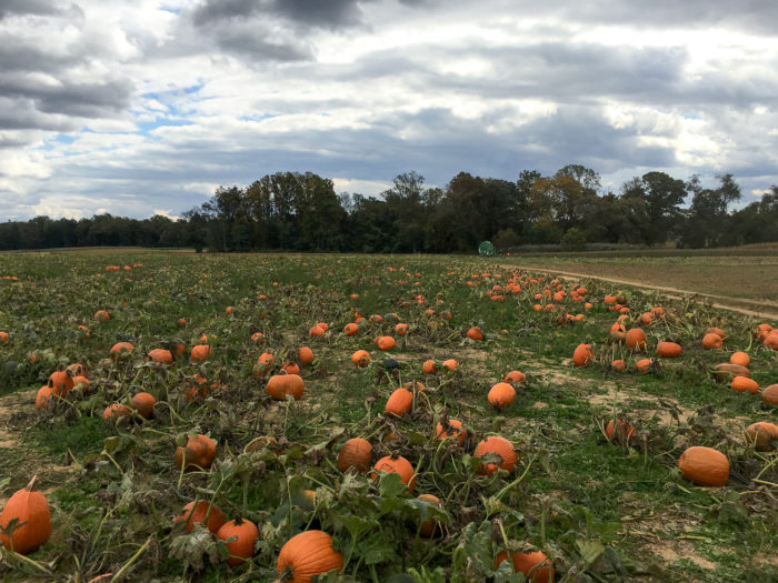 9. Maryland is lucky to have so many spacious and scenic pumpkin patches.