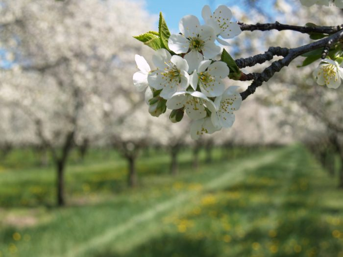 1. Visit one of our famous cherry orchards.