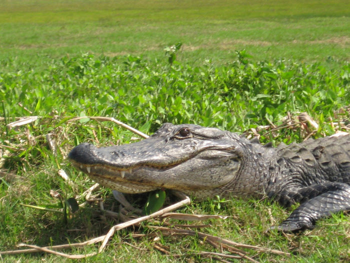 6) You cannot steal someone else's alligator (RS 14:67.13)