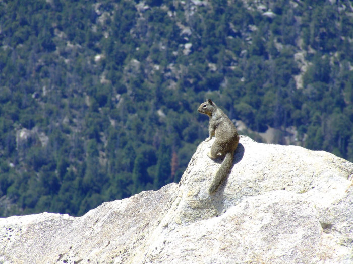 2. Looking over the edge at Tahquitz Peak. This little guy doesn't seem to be afraid of heights.