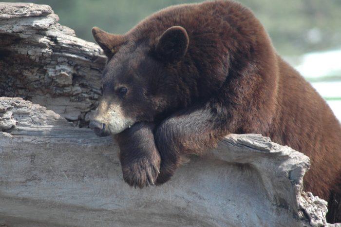 5. Visit Bear Country USA.