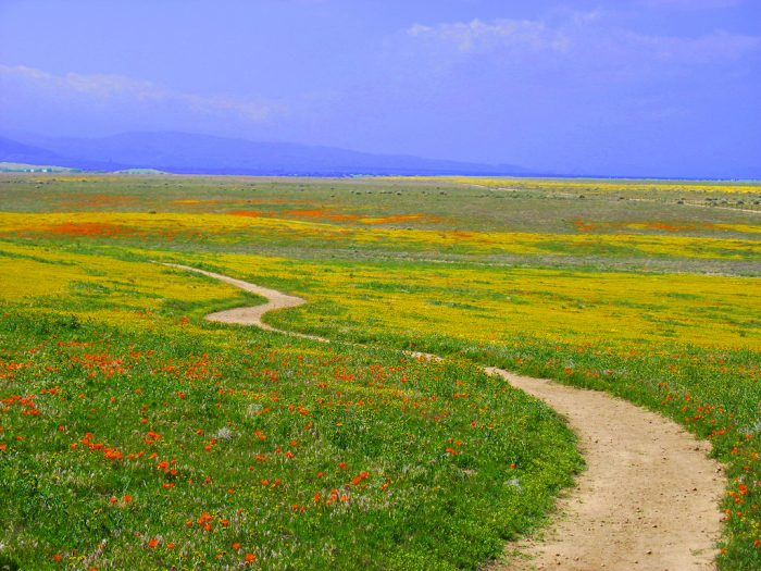 8. A long and winding road of California wildflowers in Antelope Valley.