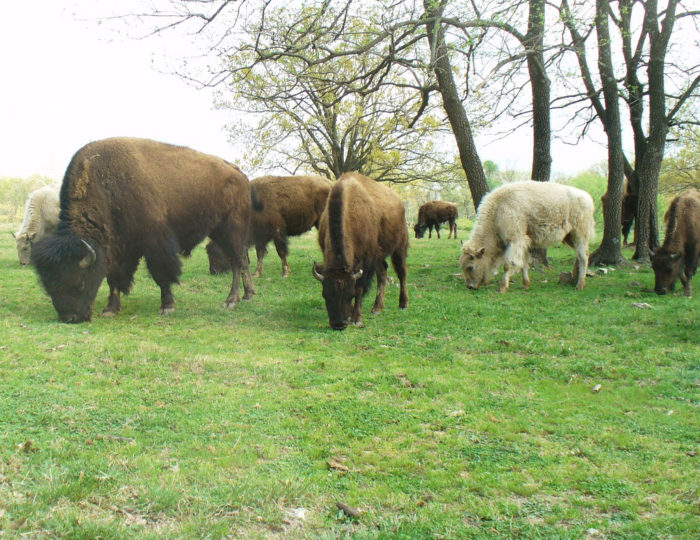 8. In 2015, authorities in Hot Springs tried to round up a herd of buffalo that had escaped in the area. They almost got them all, but they failed to catch two, so  two buffalo just roamed the streets of Hot Springs for awhile.