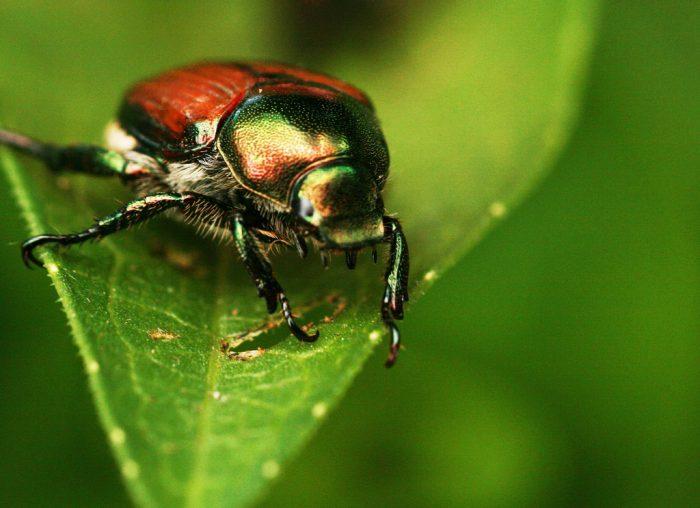 1.  Japanese Beetles