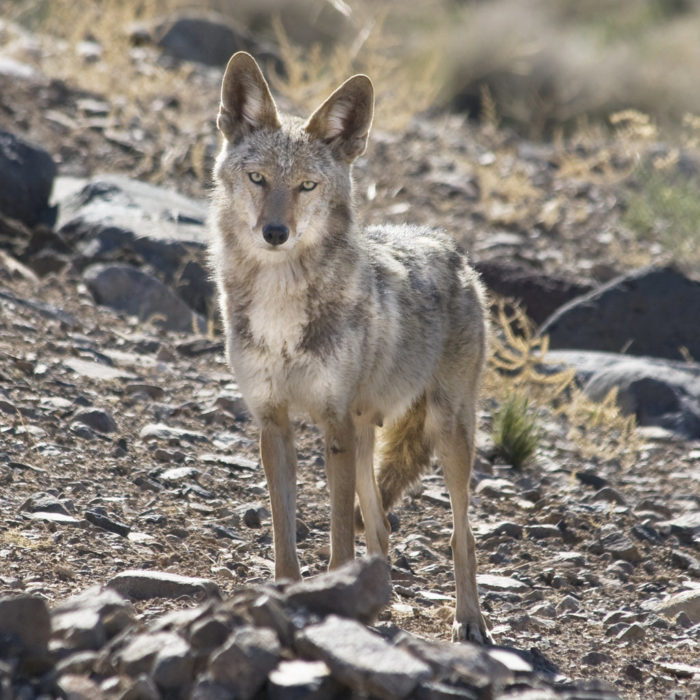 8. You don't realize that people in other parts of the country don't hear coyotes every night.