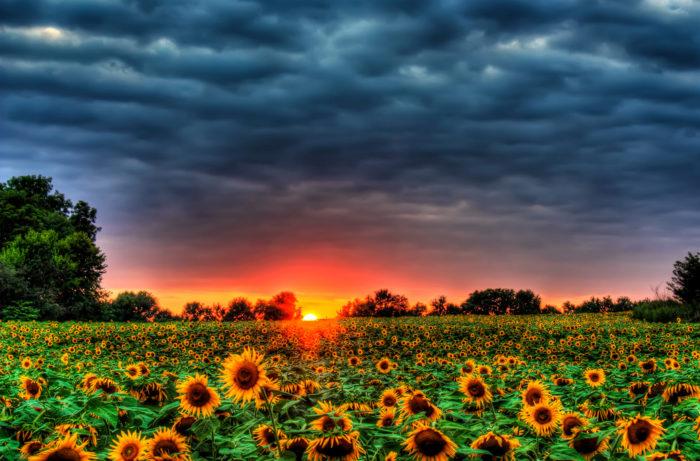 14. Any Kansas sunflower field
