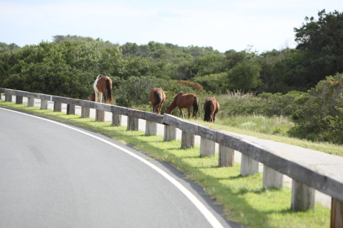 3. You cannot drive the entire length of Assateague Island. You must go back to the mainland to journey between the Maryland and Virginia sides.