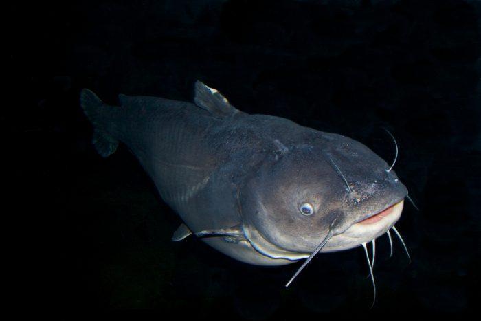 4. Raising Catfish