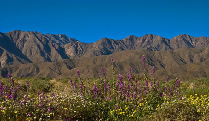 2. Wildflowers in the desert at Anza Borrego Desert State Park.