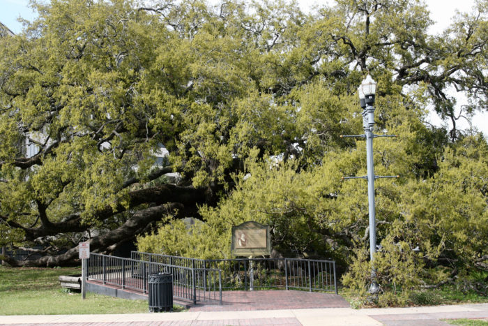In the 1930s, developers started eyeing the land around the tree. Florida Times-Union journalist Pat Moran devised a story about a treaty between Native Americans and white settlers being signed under the oak, making it a local landmark.