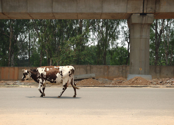 7. If you must walk your cow down a public highway, you may not blindfold it first.