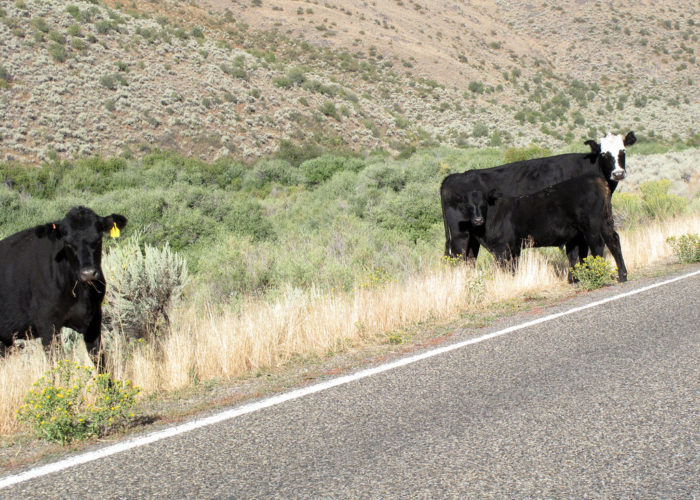 """6. Not watching for livestock in """"Open Range"""" areas."""