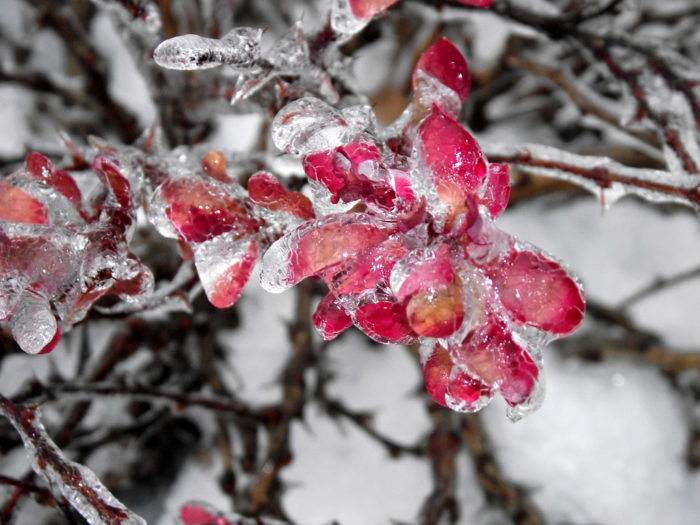 3. Apparently growing a Japanese Barberry can mean jail time in Minnesota. The plant is strictly regulated. As of  January 1, 2018 they will be Restricted Noxious Weeds.