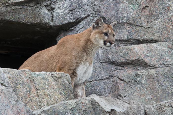 3. Cougars