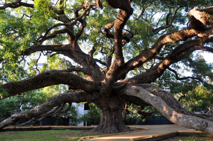 This impressive old oak is over 70 feet tall, with wild branches reaching out almost 150 feet. It's estimated to be 250 years old.