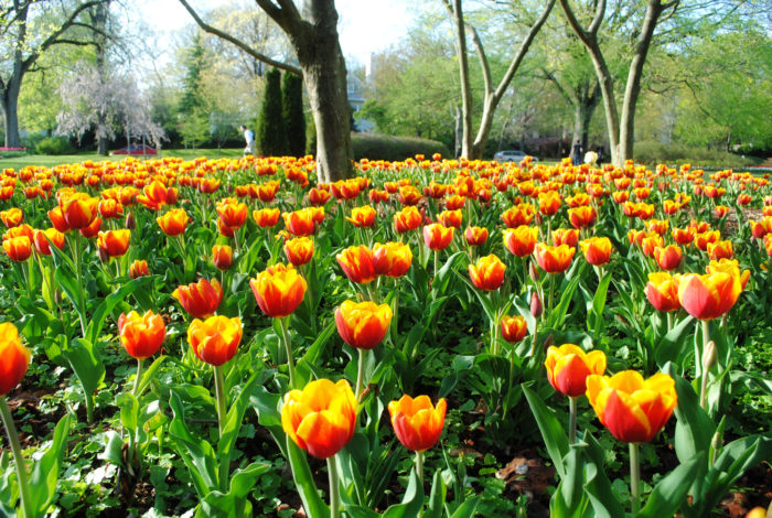 7. Sherwood Gardens in Baltimore pops with thousands of candy colored tulips.