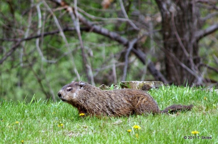 9.  Is this a woodchuck?