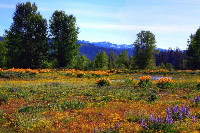 10. In a field of flowers in Lamar Valley.
