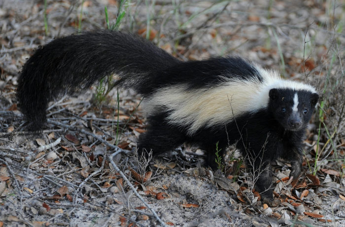 7. It's illegal to import or export live skunks for any reason.