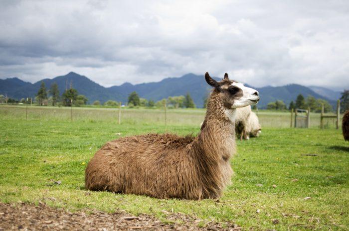 6. Raising llamas