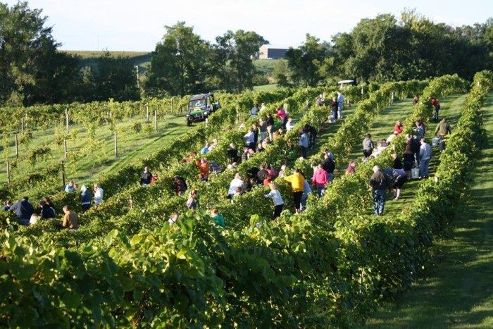 9. Or roam around the vineyard at Fireside Winery in Marengo.