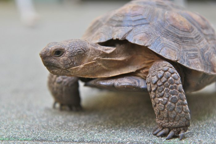 5. It is illegal to own a wild desert tortoise and to release a captive one into the wild.
