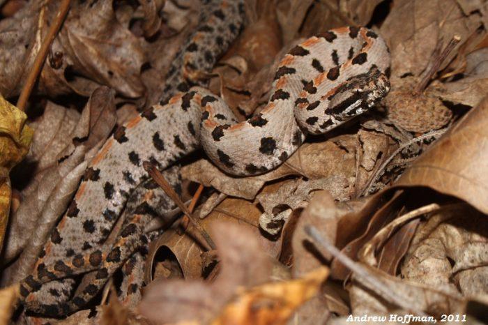 6. Rattlesnakes