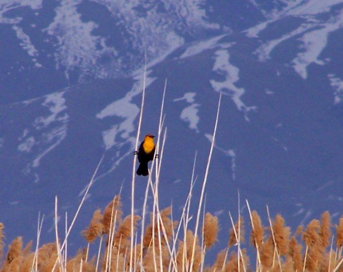 11. Bear River Migratory Bird Refuge