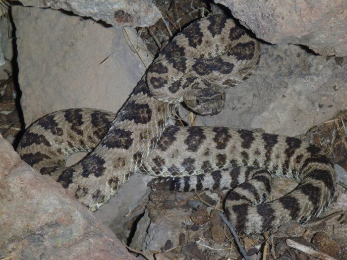 5. Rattlesnakes