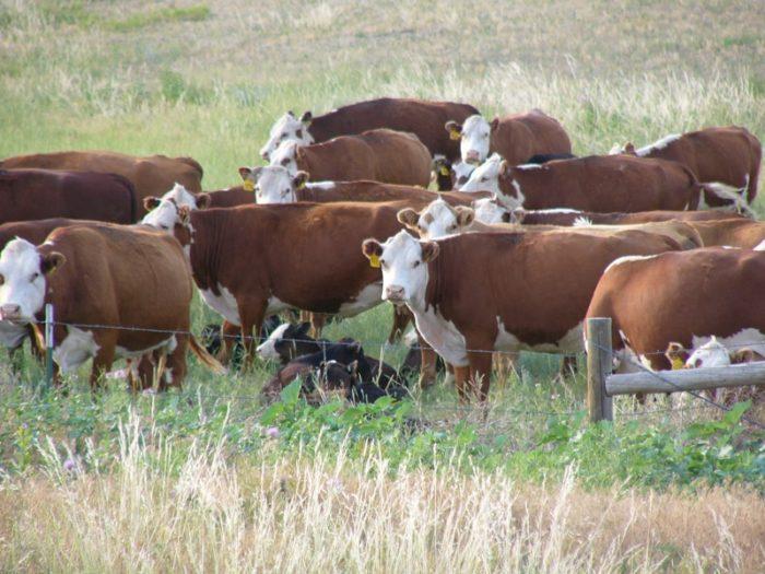 4. Cows