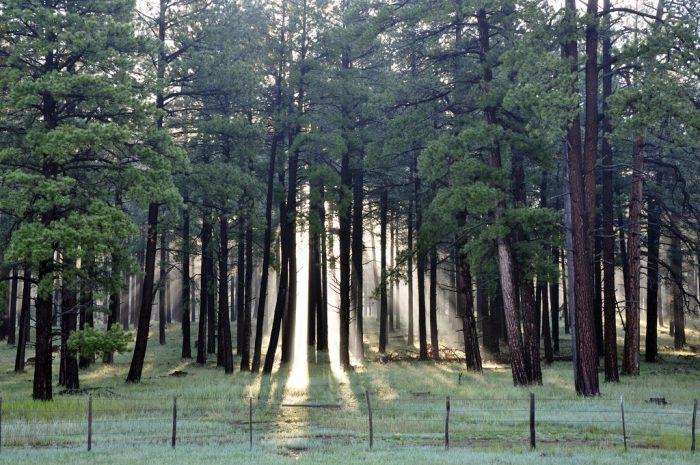 3. Arizona has the largest collection of ponderosa pine trees.
