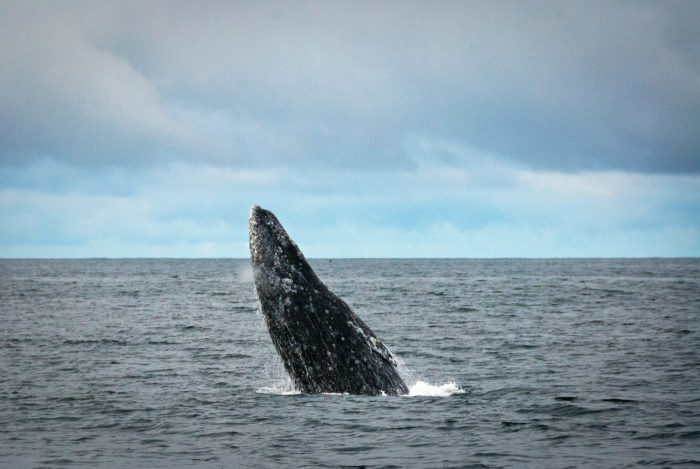 8. It's perfectly legal to shoot a whale from your moving vehicle.