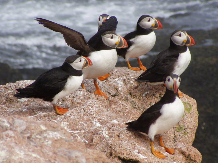 10. ...and Atlantic Puffins.