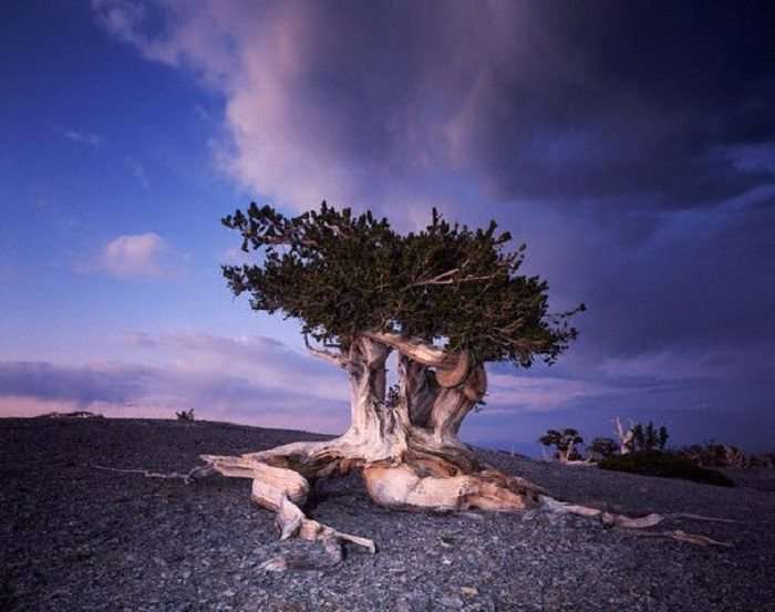 6. These bristlecone pines, which are located within the Great Basin National Park, are picture perfect.