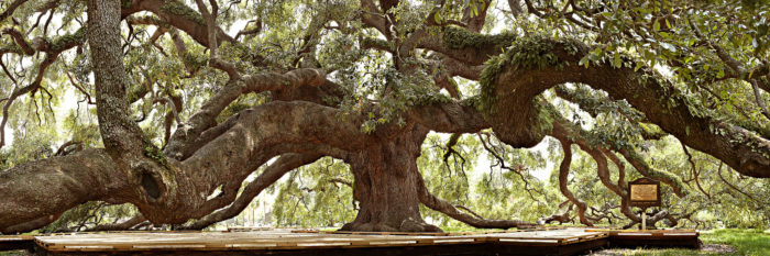 The Fascinating Story Behind Jacksonville S Treaty Oak