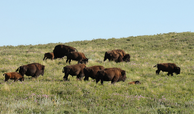 3. Custer State Park is home to nearly 1,300 bison.