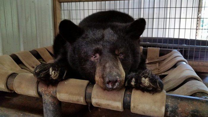 Black Pine Animal Sanctuary bear